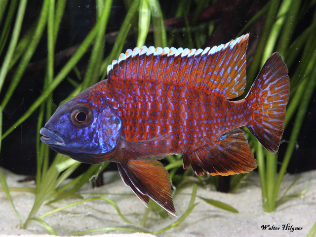 Aulonocara spec. - Red Rubin
