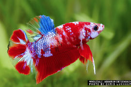 Betta splendens - Premium Koi