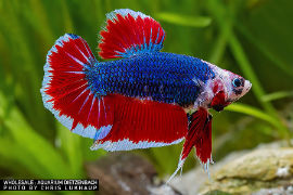 Betta splendens - Giant